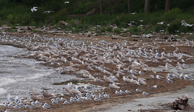 Bonaparte's Gulls and Glaucous Winged Gulls sitting in and eating form the herring roe in the beach wrack