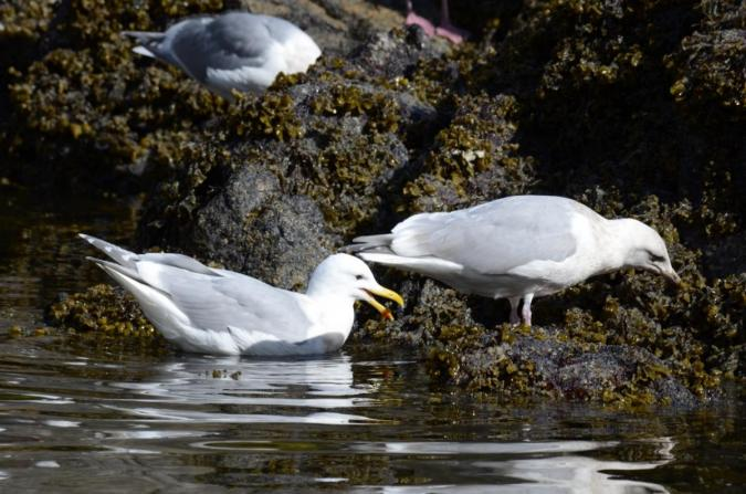 Gulls picking away on herring eggs exposed at low tide.