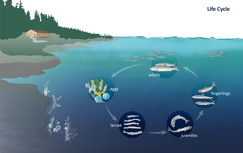 Life Cycle Pacific Herring