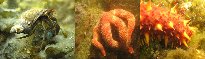 Hermit crab, starfish, sea cucumber eating herring eggs