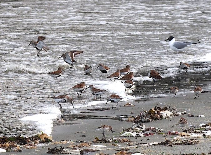Dunlin, Western Sandpipers and Bonaparte's Gull
